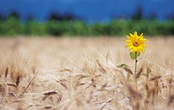 Lone sunflower in field
